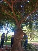 Un ejemplo clásico del emblemático bibosi, abrazado a un tronco.